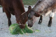 Cattle on a fodder diet produce higher quality products