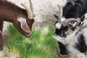 Goats produce higher quality products on a fodder diet