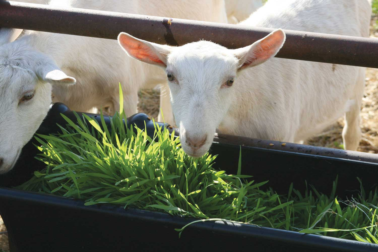 Goats Benefits - Fodder Systems - Healthy, fresh feed every day