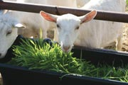 Fodder replicates what goats would forage for in the wild