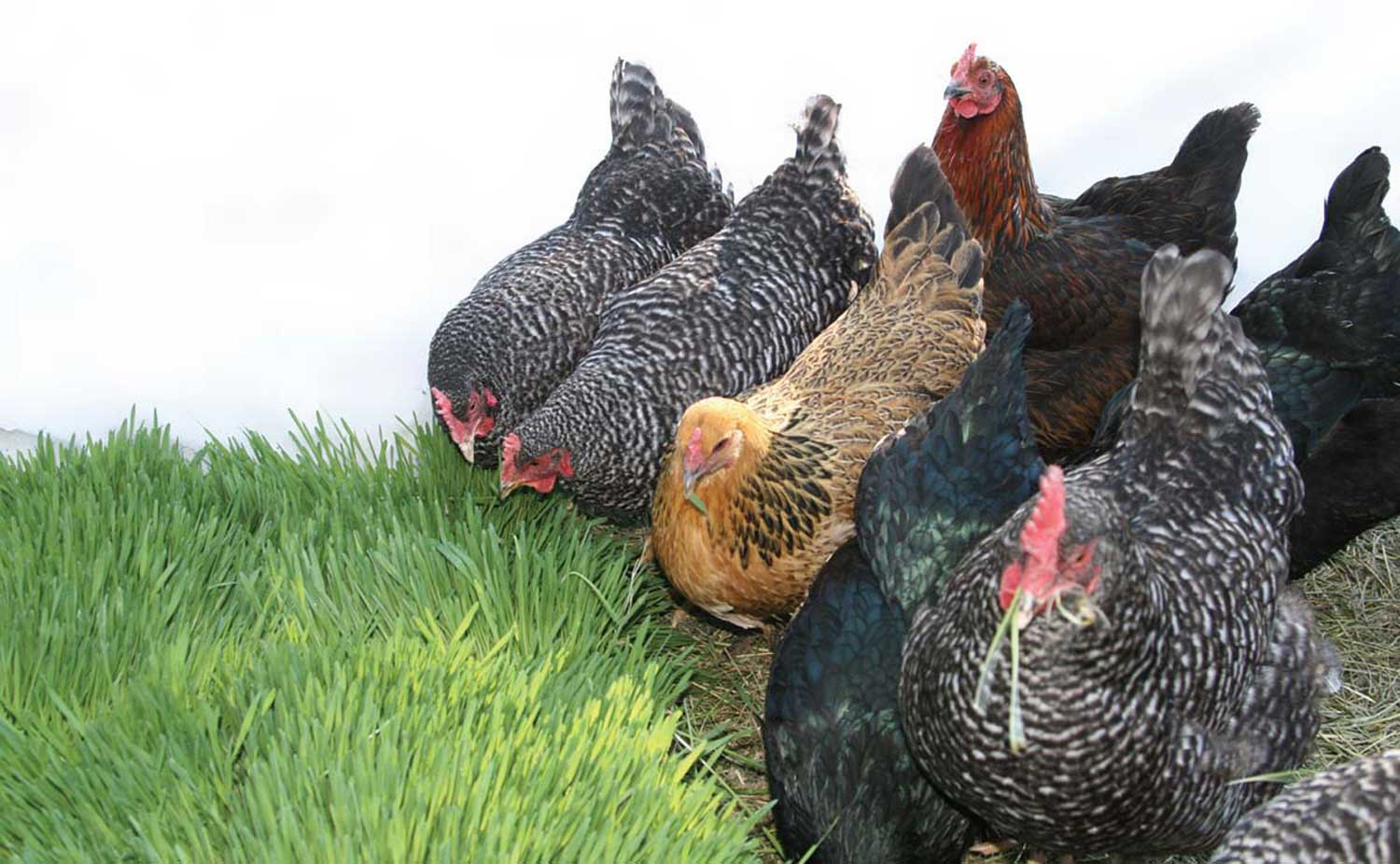 Poultry Benefits - Fodder Systems - Healthy, fresh feed
