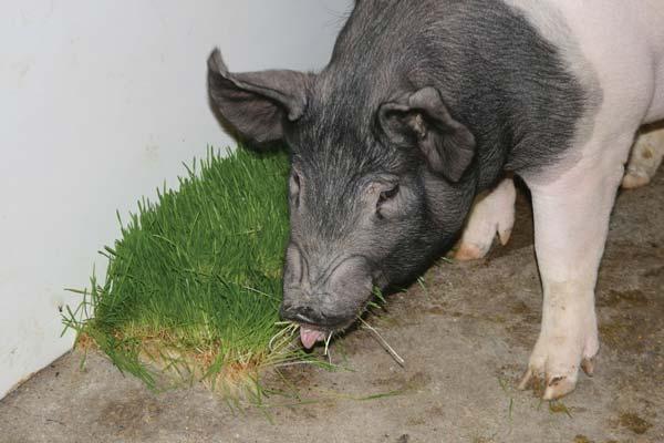 Swine Benefits Fodder Systems Healthy Fresh Feed