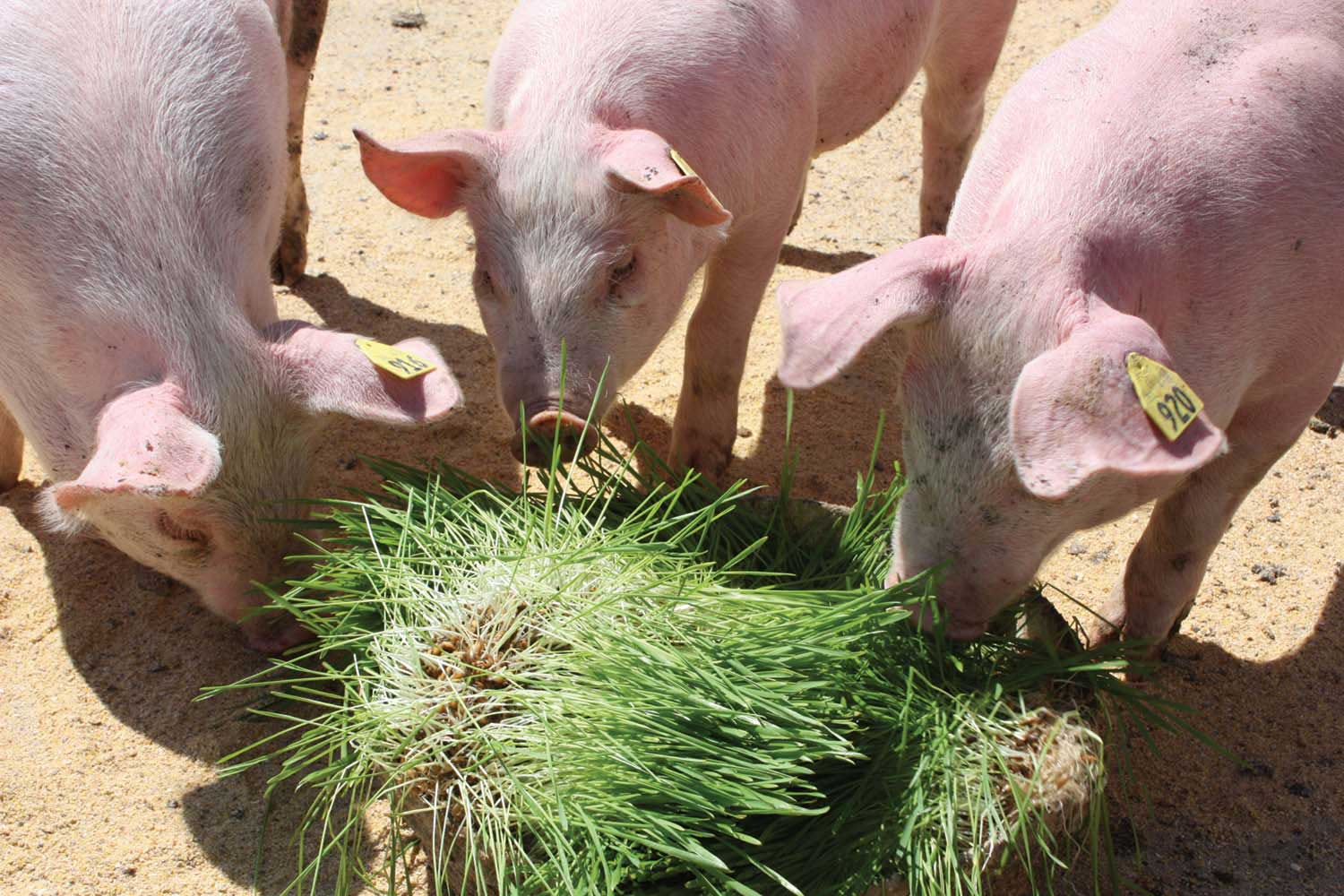 Swine Benefits - Fodder Systems - Healthy, fresh feed every day
