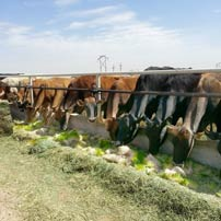 Pereira Pastures Dairy is saving thousands on hay by feeding fodder to their cows.