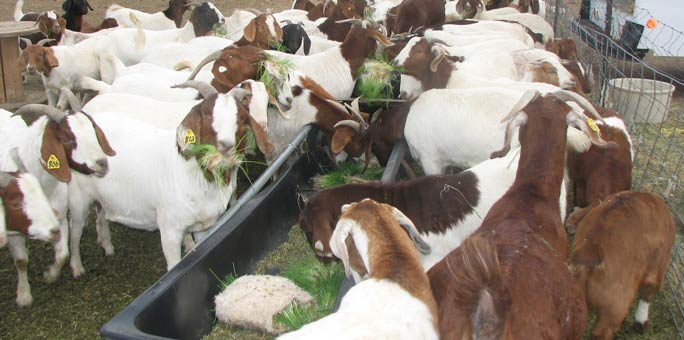 Hanscome Dairy reduced their hay cost by feeding fodder