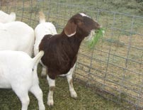 Fodder is an excellent source of nutrition for goats