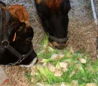 Feeding fodder will increase milk production in dairy animals