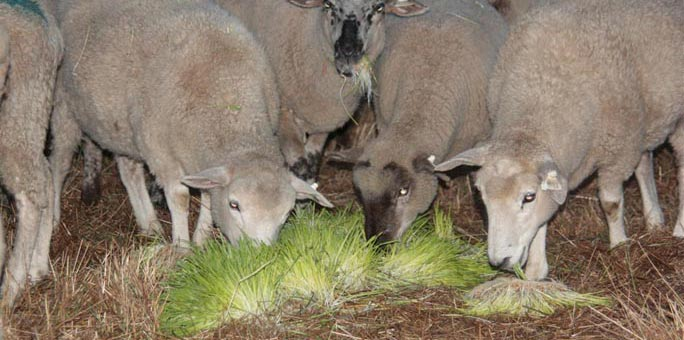 Hydroponic fodder fed to lambs at White River Lamb Company.
