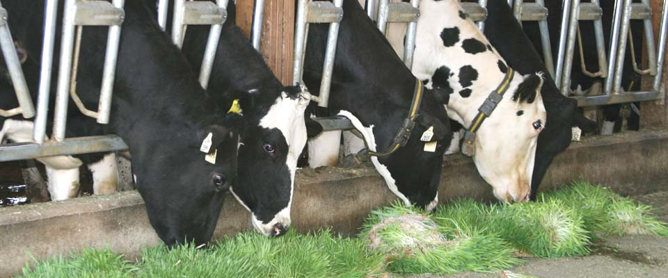 Healthy feed for livestock