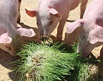 Fodder for pigs