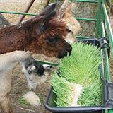 Fresh, green feed year round is beneficial to alpaca.