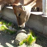 Ruminants are able to digest fodder sprouts easier and more resourcefully than grain.