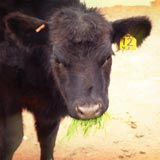 Fodder is a good feed choice for cattle in all stages of life.