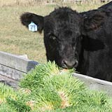 A hydroponic fodder diet increases natural weight gain in beef cattle.