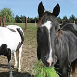 Feeding fodder to horses will improve their overall health and appearance.
