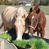 Fodder simulates the benefits of fresh pasture for horses.