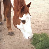 Horses are natural grazers and benefit from fresh greens year round.