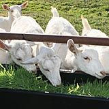 Fodder is an excellent feed supplement for ruminants, like goats.