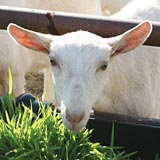 Fodder is a natural goat feed supplement.