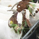 Goats eating fodder at Hanscome Dairy.