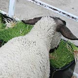Feeding hydroponic fodder improves the fleece quality of sheep.