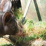 Fodder can be a full-feed option for pigs.