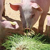 A hydroponic fodder diet increases natural weight gain in pigs.