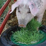 Pigs produce higher quality products on a fodder diet.