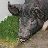 Feeding fodder to pigs will improve their overall health.